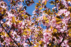 Cherry Blossom, Lohja 3 (jonikauppila) Tags: flowers flower suomi finland cherry spring cherrytree lohja kevät kukka kukat kirsikka kirsikkapuu