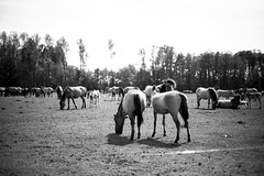 Wild horses (Eera Photography) Tags: horses blackandwhite monochrome 50mm wildhorses eeraphotography machartcustoms