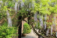 (campanule1) Tags: garden nationaltrust wisteria westgreen