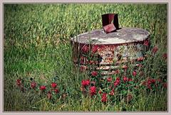 crimson clover (kurtwolf303) Tags: plants rot topf25 crimson topf50 rust topf75 500v20f blossoms pflanzen meadow wiese clover rost klee blten 900views 750views 250v10f unlimitedphotos canoneos600d kurtwolf303