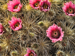 (shadowplay) Tags: ranch cactus spring blossom spines