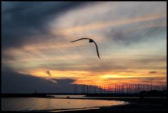 Bird in Sunset Colors (NathalieSt) Tags: sunset bird oiseau coucherdesoleil