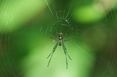 Venusta Orchard Spider (bamboosage) Tags: macro with cosina ngc mc 12 55 vivitar teleconverter 2x focusing