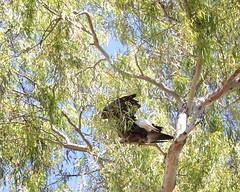 "Baby Bald Eagles ""eaglets"" week 13   20 (Gritsgal Photo's) Tags: bald eagles baldeagles"