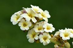 Thursday`s Flowers (Eleanor (No multiple invites please)) Tags: uk lens stanmore 105mmmacro canonspark paleyelloweyedgrass nikond7200 june2016