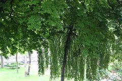 JOUR 157 : Nature en ville. (Anne-Christelle) Tags: projet365 365project green vert nature arbre vgtal paris paris16 75016paris tree feuillage
