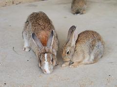 B6250701 (VANILLASKY0607) Tags: rabbit bunny bunnies nature animal japan photo wildlife wildanimal hydrangea rabbits rabbitisland wildrabbit okunoshima