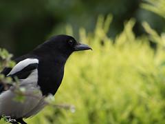 Good Morning Mr Magpie (Stuart_Byles) Tags: white black bird eye nature bokeh magpie beady
