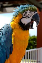 Pura simpatía (Lourdes.Prez) Tags: animal azul amarillo pajaro alegre loro simpatico contento guacamayo guaca