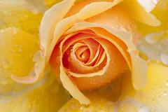Amber Queen (zip po) Tags: park morning roses dublin flower rain rose garden petals rosegarden stannes amberqueen raheny