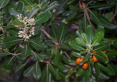 Pittosporum moluccanum, Kings Park, Perth, WA, 19/05/16 (Russell Cumming) Tags: plant perth kingspark westernaustralia pittosporum pittosporaceae pittosporummoluccanum
