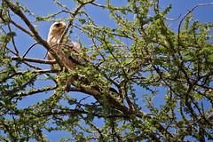 Eagle, Tawny 9-15 (Grete Howard) Tags: golkopjes kopje serengeti tanzania safari safariinafrica bestsafarioperator bestsafaricompany whichsafaricompany whichsafarioperator animals animalphotos animalsofafrica africa africansafari africanbush africananimals animal birds birdwatching birding gamedrive