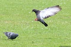 Pigeons (Columba livia) (Jeff G Photo - 2m+ views! - jeffgphoto@outlook.com) Tags: park lake bird water birds pigeon pigeons flight southpark columbalivia southparkilford