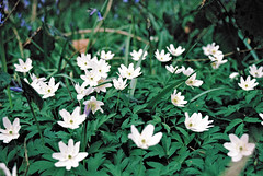 Wood Anemones (Matthew Huntbach) Tags: white anemones eltham woodanemones se9 shepherdleaswood