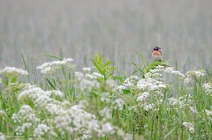 Whinchat (- Man from the North -) Tags: flowers bird nature field animal fog finland nikon wildlife naturallight explore tamron naturephotography whinchat saxicolarubetra explored inexplore nikond7000 finnishwildlife tamron150600mmf563spvcusd