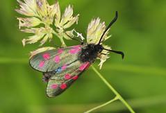 Siix-spot Burnet Moth (Prank F) Tags: uk macro nature closeup insect wildlife moth rutland ketton burnet wildlifetrust lrwt sixspot kettonquarry