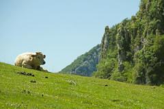 _DSC4420_editado-1 (adrizufe) Tags: mugarrikolanda maaria nature cows vacas naturaleza green ilovenature ngc nikonstunninggallery nikon d7000 durangaldea basquecountry bizkaia aplusphoto adrizufe adrianzubia
