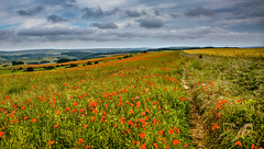 England is a beautiful country! (Gnome Girl!) Tags: uk greatbritain summer england hot cold field rain june hills poppy poppies southdowns ditchlingbeacon flowerhillsmeadow