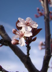 Purpleleaf Plum Tree (Finding Carmen) Tags: flowers trees plants nature garden spring iowa floweringplum purpleleafplum