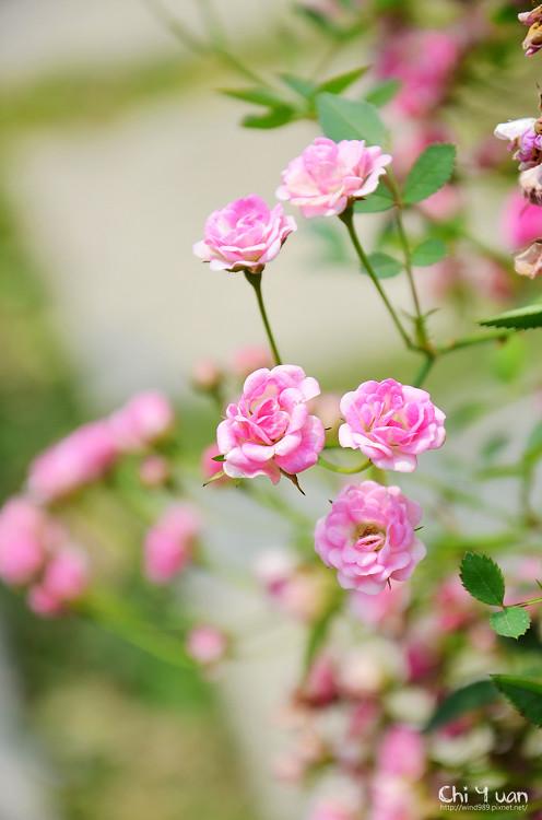 玫瑰園。迷你薰衣草08.jpg