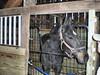 2012-04-15 (79) Hey Doc Holiday - 'Lil Pat' (JLeeFleenor) Tags: horses caballo cheval photography photo uma cal cavalo pferd equestrian kuda alogo equine hest thoroughbreds soos hevonen cuddy paard cavall kon koin häst ceffyl лошадь 马 koń faras hestur סוס perd حصان konj кон yarraman pfeerd patricknicole cavalocavallo beygircapall hästάλογο घोड़ा馬