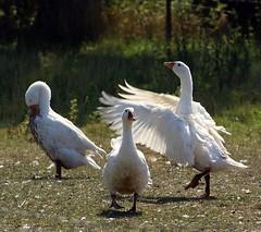 """Not """"The Swan Lake"""" (Jaedde & Sis) Tags: white three geese herowinner"""