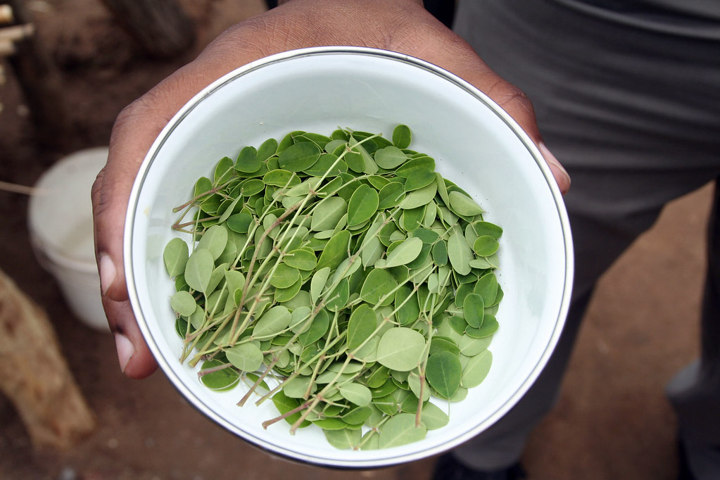 Moringa Leaves in Jombo village, Malawi by Bread for the World, on Flickr