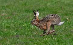 Gone in 60 sec (Roberto Braam) Tags: wild nature hare wildlife thenetherlands natuur groningen haas hase marum natuurgebied livre nuis westerkwartier boerakker