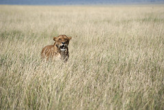 Alert lioness (Katrine Lemming) Tags: africa grass tanzania horizon lion anger crater savannah lioness alert rainseason ngorogoro