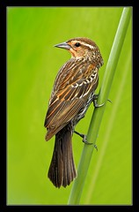 Female Red Wing (billkominsky ) Tags: green wetlands cay vob damniwishidhavetakenthat howardsgallery