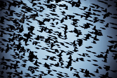 10042012-DSC_4750 copy (omarRZC) Tags: sol atardecer aves cielo parvada