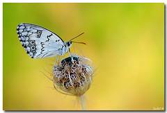"Melanargia titea (Lior Dar) Tags: flower macro yellow butterfly israel aperture branch fuji dof bokeh depthoffield yellowflower getty fujifilm pro1 thephotographer blueribbonwinner coth greatphotographers macroextreme macrolicious topshots beautifulphoto beautydish physis photographsandmemories ourplanet flickraward macrophotosnolimits xpro1 magicofaworldinmacro theunforgettablepictures platinumheartaward macrolife theperfectphotographer ahqmacro multimegashot macrosdenaturaleza abovealltherest grouptripod colorsofthesoul thebestmacrophotos artofimages primemacro fabbow oneofmypics ""flickraward"" expressyourselfaward platinumbestshot platinumpeaceaward flickrunitedaward mygearandme ringexcellence fujifilmxpro1 fuji60mmmacro fuji60mm fujifilmxpro1fujifilmxf60mmf24rmacro melanargiatitea fujifilmxf60mmf24rmacro fuji60mmf24macro fujifilmxf60mmf24"
