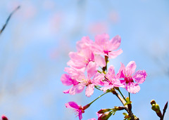 Sakura ( Nana) Tags: flowers plant love nature beautiful cherry nikon bokeh taiwan sakura lovely   taiwan i  flowersbokeh d7000