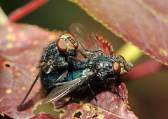 blow flies 1 (~T.J~) Tags: nature bug insect fly wildlife insects bugs flies blowfly canonef100mmf28macrousm