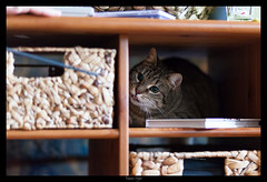 Playing... (meyla555) Tags: pet animal cat gato katze haustier tier 2012 tabbycat kasi getigert atigrado animaldomstico immendorf canoneos50d