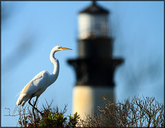 Lighthouse Watchman (MurrayH77) Tags: bird oregon nc wildlife inlet egret obx mygearandme mygearandmepremium mygearandmebronze mygearandmesilver mygearandmegold mygearandmeplatinum mygearandmediamond rememberthatmomentlevel1 rememberthatmomentlevel2 rememberthatmomentlevel3