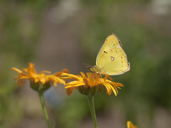 Eastern Pale Clouded Yellow (Polotaro) Tags: nature pen butterfly bug insect olympus  zuiko ep1        gzuiko50mmf14
