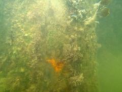 CrabCam MkII Parkstone Bay (Chris_Moody) Tags: ocean sea marina canon bay marine science powershot pylon research dorset environment biology poole pontoon mkii s100 organism fouling parkstone crabcam