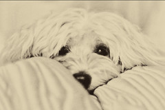 Boo Boo Face (Cheryl Atkins) Tags: dog cute nose eyes soft blanket cuddly havanese fluffball