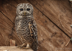 Chaco owl (Richard Olpin LRPS) Tags: bird animal fauna flickr wildlife owl online herefordshire facebook kington owlcentre chacoowl