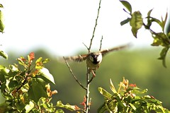 Finch, Approaching - 138/365 (Vlachbild) Tags: bird oneaday animal daily finch photoaday pictureaday birdinflight blurredmotion project365 project365138 sonyslta65 2012inphotos minoltaaf100300f4556 project36517may2012