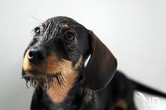 Happy camper (ND-Photo.nl) Tags: urban dog brown black andy wet puppy shower photo wire eyes nikon bath raw konijn small tan thenetherlands nat nelson hond dachshund wirehaired dashund nd ogen nikkor zwart teckel afs kaninchen bruin noordbrabant onassis tekkel d300 fotograaf 1755mm ruw vakfotograaf cromvoirt dashond ramdin nikond300 ndphoto ruwharig d5100 ndphotonl