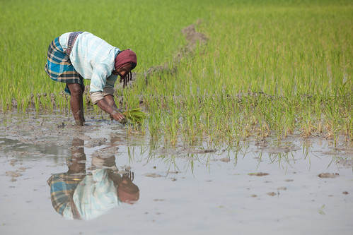 Planting rice in Khulna, Bangladesh. Photo by Mike Lusmore/Duckrabbit, 2012