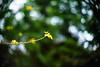 Baby Momiji (moaan) Tags: life new leica green digital 50mm dof bokeh f10 momiji japanesemaple utata aomori noctilux minimalism sprout 2012 青森 m9 yagen anew inlife leicanoctilux50mmf10 leicam9 薬研