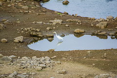 18 (Rohit Arun Rao) Tags: india reflection water stones goose himayatsagar