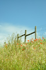 Mitxoleta gorriak_Red poppies (iRuDiTaN) Tags: nature grass fence natura poppy campo hierba belarra amapola landa hesia vallado conuntryside nataleza mitxoleta
