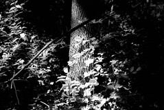 Cedarvale Park, Toronto [Explored June 10, 2012] (j-riviere) Tags: trees light shadow bw toronto canada nature contrast foliage nokton40mm14 leicam8 topwcrrd