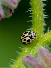 IMG_0156 14-spot ladybird (Propylea 14-punctata), Whitacre Heath, Warwickshire 06Jun12 (Lathers) Tags: warwickshire propylea14punctata 14spotladybird canon7d whitacreheath canonef100f28lisusm wkwt 06jun12