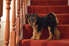 Gwynny - Age 11 Weeks (Globetreka) Tags: pets dogs wales puppies welshterrier terriers mygearandme