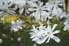 Minden - Alter Friedhof (*blythe-berlin*) Tags: minden blooming blten alterfriedhof blhen springfrhling